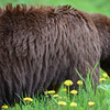 brown bear female..lining up the best bunch of dandelions