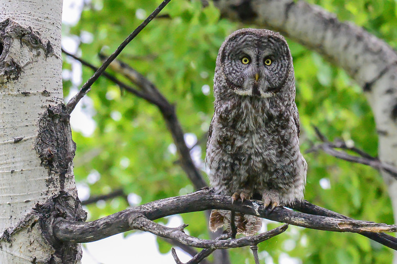 great gray owl....this picture is using ISO 12800