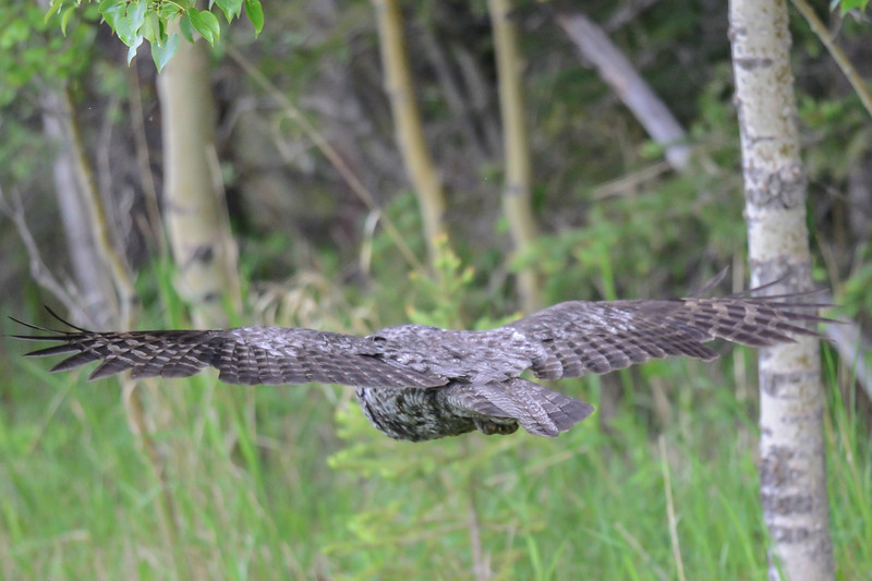 great gray owl....this picture is using ISO 2500