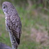 great gray owl....this picture is using ISO 2800