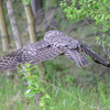 great gray owl....this picture is using ISO 2200