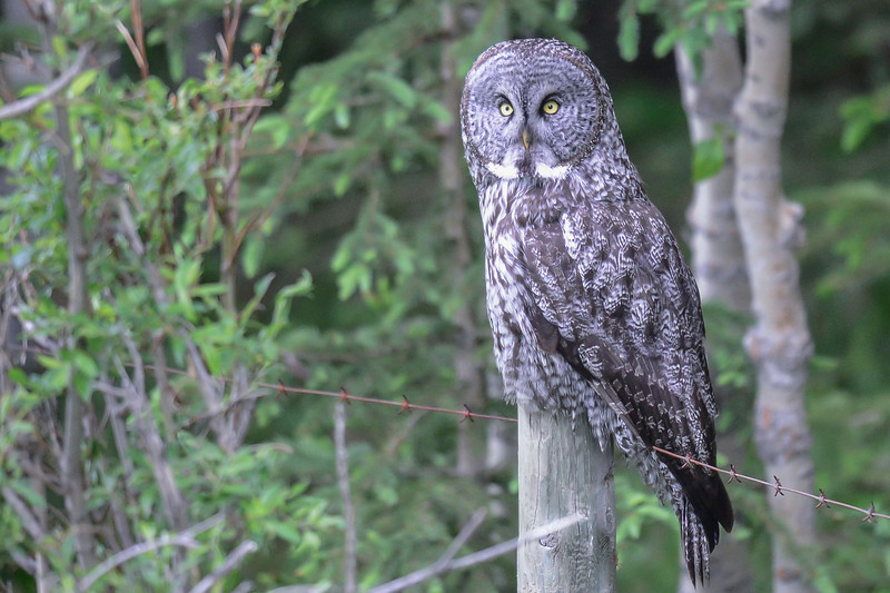 great gray owl....this picture is using ISO 4500