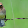 cedar waxwing - you can also see a fly to the right of the bird...lol