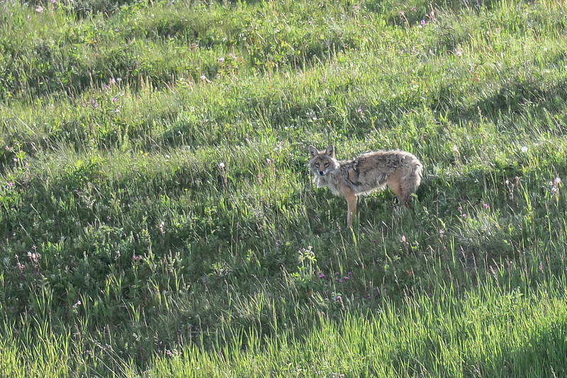 coyote mom checking us out.  Thanks to Lori for the location info on this family den...I will try and get some pictures in the morning when i don't have to shoot into the sun...