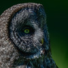 great gray owl - is sedentary with only minor or no movements between summer and winter
