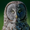 great gray owl - they locate hidden prey with the help of a  large facial disk that funnels sound to their ears.  You can see the large round facial disk very clearly in this picture.
