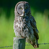 great gray owl - hears my camera clicking