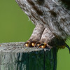 great gray owl -  looks to me like  this gg owl just came from the sharpening spa.  The great gray owl's diet consists of almost enirely small rodents.  Generally they hunt from a perch by listening and watching.