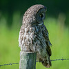 great gray owl - back to the hunt