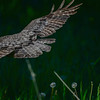 great gray owl -  then it moved to another perch and left it still looking for its morning breakfast