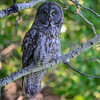 great gray owl - this is the largest owl in North America