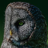 great gray owl - deep in thought