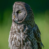 great gray owl - they do not build its own nest or modify it in any way other than to potentially deepen the cup.  Most nesting is done in abandoned raptor or crow nests or broken off treetops.