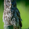 great gray owl - the owlets don't stay in the nest very long,  they leave the nest before they can fly.  Most owlets climb or tumble to the ground when they are just three to four weeks old.