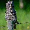 great gray owl - the owl comes more brown with age
