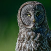 great gray owl - showing the facial sound disk again