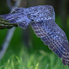 great gray owl - moving down the tree line looking for a better perch