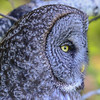 great gray owl - never stops concentrating on the hunt for food