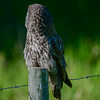 great gray owl - hears a ravan calling