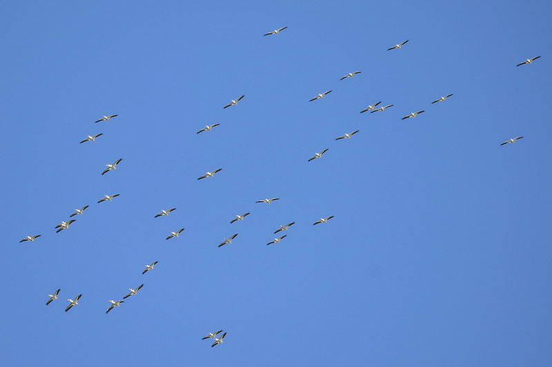 this squadron.... of American White Pelicans few by like very large bombers and were very high.  this was taken with a 600mm