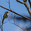 probably a least flycatcher although I can't be absolutely sure as described in picture 1