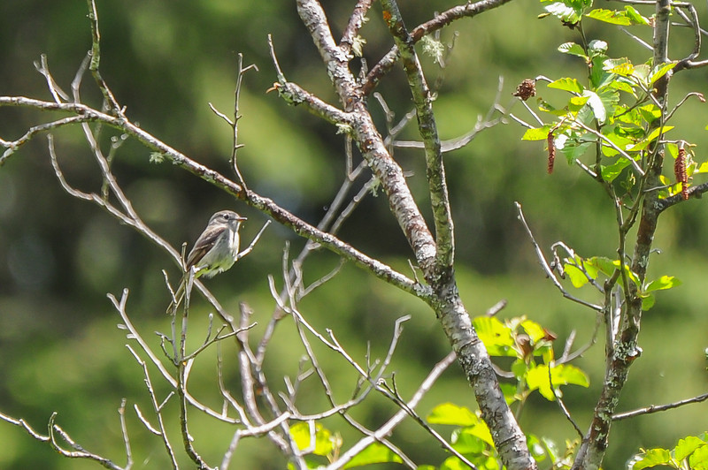 flycatcher - this is the first time I have photographed this bird.   There are at  least eight species in Western North America. All look alike - but have totally different vocalizations. The most numerous is the Least Flycatcher.