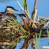 red-necked grebe feeding 1 baby