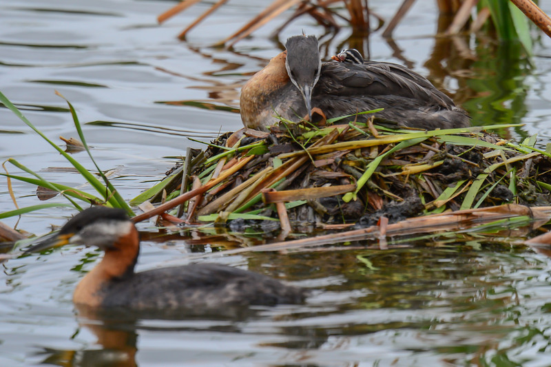 red-necked grebe family with 3 babies and still 2 eggs in the nest that should hatch in the next couple of days