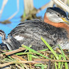 red-necked grebe baby flapping its wings
