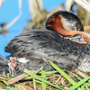 red-necked grebe, 2 babies one yawning