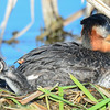 red-necked grebe, second baby poking out from under the feathers
