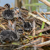 red-necked grebe showing  4 babies