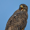 swainson's hawk (dark morph) phase