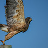 swainson's hawk (dark morph) - they both moved to tree branch