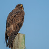 swainson's hawk (dark morph) - talking to another swainson's hawk 2 fence posts away