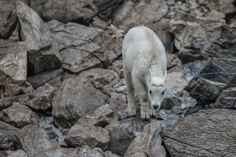 took a trip to Fernie this week and did a 4 wheel drive side trip into an area messed up by floods.<br /> But the Mountain Goat family that live among the steep rock cliffs are surviving nicely.