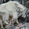 winer coat coming off just behind the head.  Both male and female mountain goats have beards, short tails, and long black horns.  They are protected from the elements by their woolly white double coats. The fine, dense wool of their undercoats is covered by an outer layer of longer, hollow hairs. In spring, mountain goats moult by rubbing against rocks and trees, with the adult bucks (males) shedding their extra wool first and the pregnant does (females) shedding last.