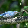 this little mountain bluebird was having a bad feather day!