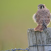 american kestrel - checking me out - This little baby is just out of the nest - Thanks to Lori for the tip!