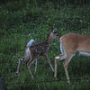 white-tailed mom and bambi