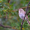 this one could be a  Lark Sparrow, Vesper Sparrow or a  Dark-eyed Junco