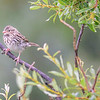 this one could be a Chipping, Clay-coloured or Brewer's sparrow