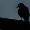 raven in the evening sun