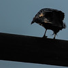 raven in the evening sun & getting ready to leave
