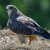 swainson's hawk - looked around