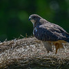 swainson's hawk - it got up when I stopped the truck