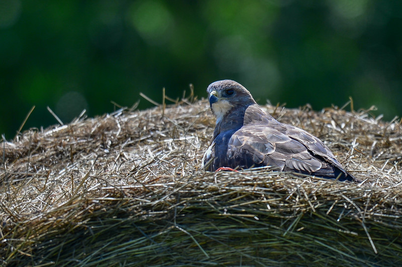 swainson's hawk on a large hay bale