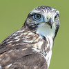 juvenile red-tailed hawk- these are one of my favourite hawks