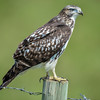 juvenile red-tailed hawk - on its new post