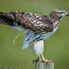 juvenile red-tailed hawk - this what they usually do before they fly off